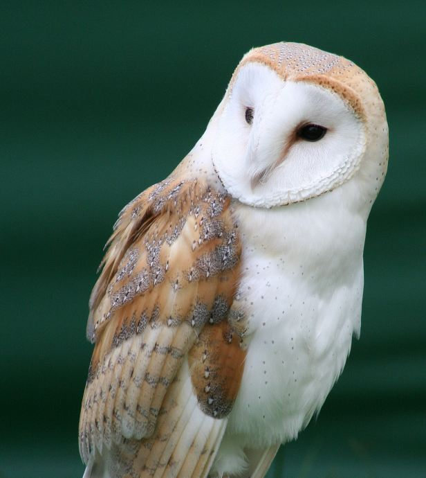 tyto_alba_close_up